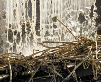 Sugar cane - Sugar cane from which sugar cane juice is made
