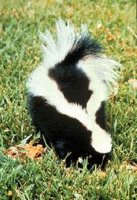 skunks - cool skunks! cute creatures!