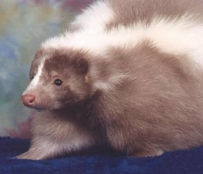 Skunk - A pet champagne colored skunk
