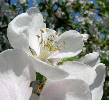 flower for mattchua - apple - trees are blooming here...