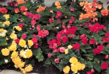 wax begonias - here is a picture of wax begonias, they are actually very pretty