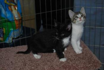 Pair of Playful Kittens - Two cute playful kittens awaiting adoption