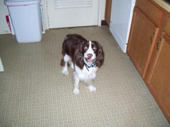 Dixie dog - Dixie, the cute and sweet springer spaniel!