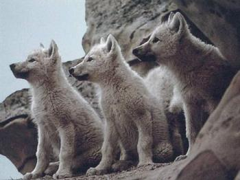 Wolves - I would like to be a wolf!