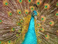 indian peacock - indian peacock