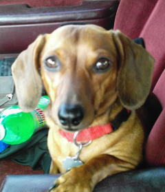 My weiner - This is Izzy. She is like my child. I can not leave her or she howls and goes crazy digging at the door.