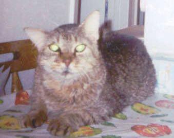 """Hobo - my """"top shelf"""" cat"""
