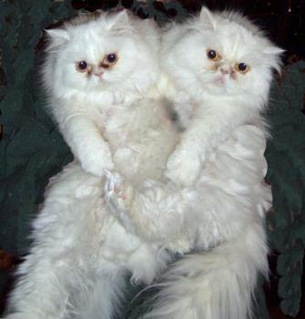 Two of my Persians - Mira and Cherib Persian cats
