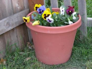 pansies - Heres a sample of one of the planters of pansies I have