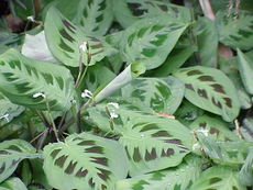 Prayer Plant - I believe this is the plant that you are talking about. It is a cool looking plant.
