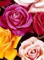 flowers - A bunch of different colored roses.