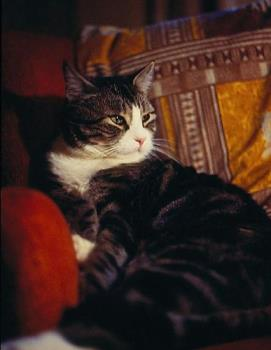 Tommy-the most bathed cat in the world - Tommy the big lover cat