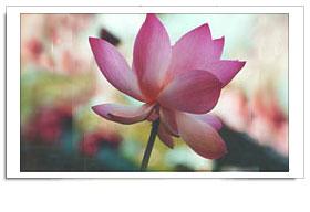 Lotus - India's national flower