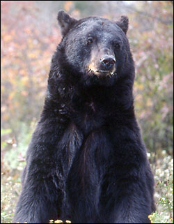black bear - Going to come back as a grumpy black bear