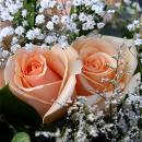 Roses -  Beautifull roses with white babys breath