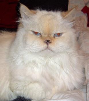My cat Bubba - My white Himalayan