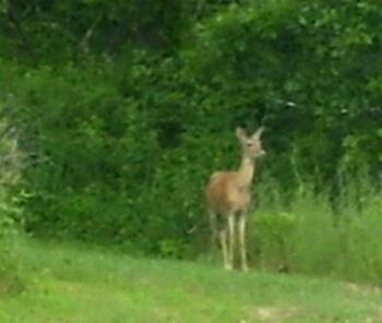 Deer in Michigan - This may have been the deer that ate all but 2 of my bean plants in the garden the night before - not sure those as deer are very common in our area.