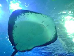 sting ray - pic