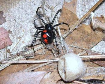 widow spider with egg sack - goodness but how many baby spiders can that thing hold? it is bigger than mama spider! i wonder if it holds thousands. yuck, need to get that away from the house!