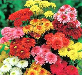 Chrysanthemum  - yeah its my birth flower