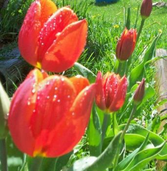 Tulips - Here are some tulips from my garden.