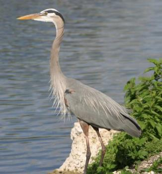 Great Blue Heron - Stunningly graceful and beautiful bird.
