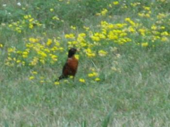 Robin & Weeds - Here's a robin searching for worms and or bugs in the same weeds.
