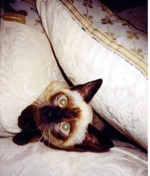 my siamese cat - my cat Kishy.