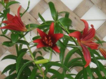 ASIATIC lILIES - A few of my Asiatic Lilies in front of my house.