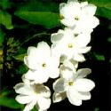 sampaguita flower - sampaguita flower, found in the philippines