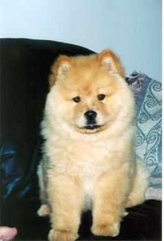 Chow mix - How can they think that it wouldn't get big? Chows and collies are not huge but they aren't small.