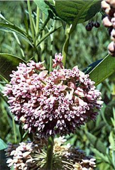 a beatiful milkweed plant  - too beautiful to be called a weed