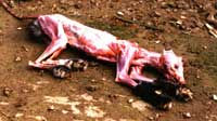 Skinned Mink - This is what a skinned mink looks like. Sickening