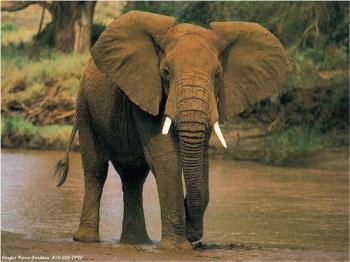 Elephant - I think it would be the greatest to own one of these beautiful, gentle giants!
