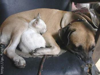 Aww... come on.. this is cuddly! - Two cuddly pets that love each other. See this big dog & small
