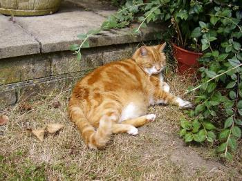 Wilby - Fat cat - Wilby before he lost weight
