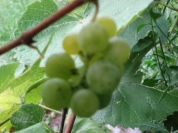 My Vine - These are a smaple of a few clusters I have on my Kay Gray Grapevine. Its basically a wine making grape but a sweet yet slightly tart flavor. they are green as you can see.