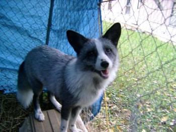 My pet fox, Tippy. - He was a blue platinum. His owner got him from a breeder, and didn't want him, at only 4 months of age, so she gave him to me. He was so scrawny at first, but after I got him, he was well taken care of and loved. I had him fro several months, and one day I came home, and he wasn't on his kennel. I don't know what happened to him, but I'm sure he was killed, by someone or something. I offered a reward, but never did get him back. I know he wouldn't go up to anyone willingly. He only liked me.