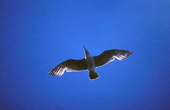 Ring-billed Gull in Flight ©M.N. - Photo of a gull in flight