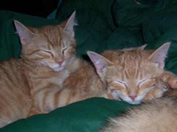 Our ginger marmalade twins, Tigger and Tee-Tooh - The kittens were only a few months old here..and were born in the Fall of 2006. Now Tigger is considerably bigger...and looks out for his little brother. We have 5 cats and they all get along very well.