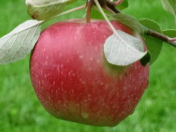 Another Beauty - Honeycrisp ready to eat any day now from my back yard.