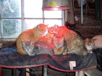 Adoption from a family of barn cats - We received 4 out our 5 cats from this family of barn cats. The farmer provided an infra red lamp to keep them warm. They were so cute snuggled together...and a year later the 4 siblings still love to pile on top of each other when they are sleeping. It seems like they are built in security blankets for each other because of the way they started out...piled together under the infra lamp.