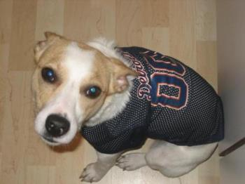 Dharma - My dog, dharma, in a detroit tigers jersey