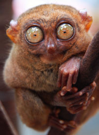 The Tarsier - A Tarsier, the eyes have it.