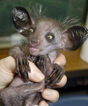 this is a aye-aye - largest nocturnal primate