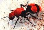 This velvet or cow ant is actually a wasp! - We used to see them growing up. You would have to stomp them numerous times and rub your foot across the ground over the top of them in order to finally get them killed.
