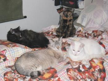 Here are just 4 in bed 3 yrs ago - These are the 4 cats we got in 2003, only the white one was in bed with me the other night
