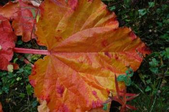 Rhubarb leaf in fall colur - Another rhubarbleaf in the fall colur