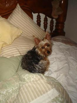 My new Kitty! - Yorkshire Terrier Kitty