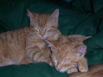 Male Ginger Twin Cats on their Blanket - Our twin male cats Tigger and Tee-Tooh sleeping between my hubby and me on the coach.on their blanket. They are a great comfort when they lie close to us..their energy is soothing and calming.